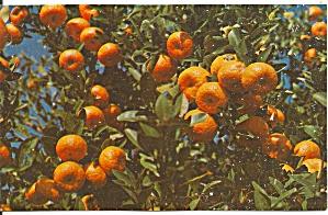 Florida Tangerines Postcard  p34232 (Image1)