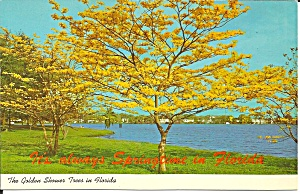 Golden Showers Tree in Florida p34280 (Image1)