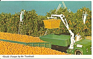 Florida Oranges By The Truck Load P34296