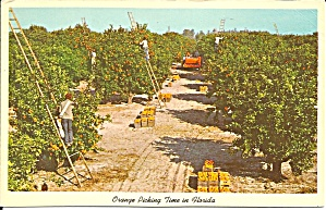 Orange Picking In Florida P34414