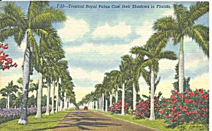 Tropical Royal Palms In Florida P34415