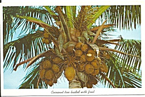 Florida Coconut Tree With Fruit P34629