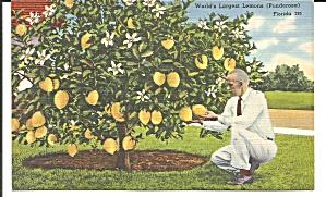 Ponderosa Lemon Tree Florida p34791 (Image1)