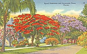 Royal Poincianna Tree Florida p34793 (Image1)