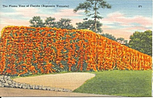 Flame Vine Florida p34809 (Image1)