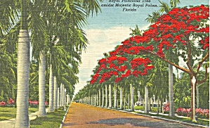 Royal Poinciana Trees And Palms Florida P34821