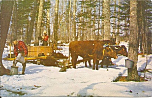 Gathering Sap Maple Sugaring Vermont Postcard P35133