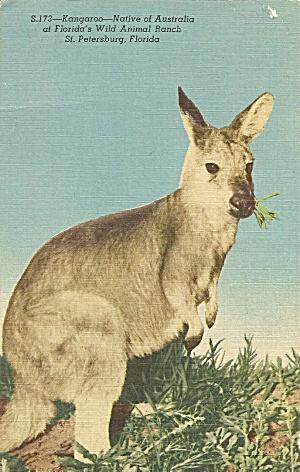 St Petersburg FL Kangaroo at Wild Animal Ranch p35334 (Image1)