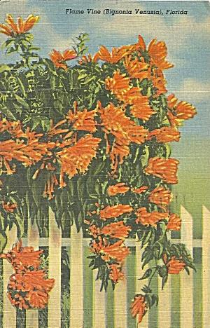 Flame Vine Bignonia Veusia Florida Postcard p35424 1953  (Image1)