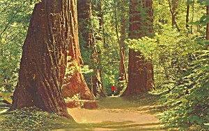Redwoods in Muir Woods National Monument p35500 (Image1)