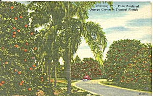 Florida Orange Grove Postcard P35740 1961