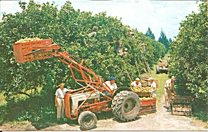 Harvest Time In Florida S Orange Groves Postcard P35741