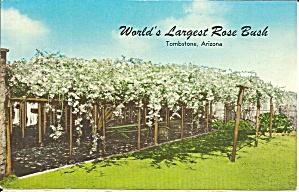Tombstone AZ World s Largest Rose Bush p35817 1972  (Image1)
