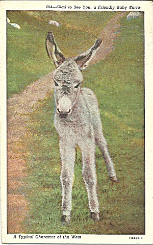 Young Baby Burro Postcard P35863