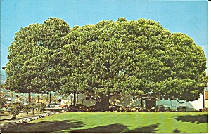 Santa Barbara CA Moreton Bay Fig Tree p35947 (Image1)