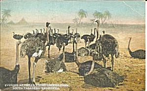 South Pasadena CA Cawston Ostrich Farm p35988 (Image1)