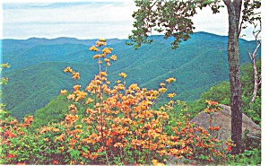 Azaleas Great Smoky National Park TN Postcard p3599 (Image1)