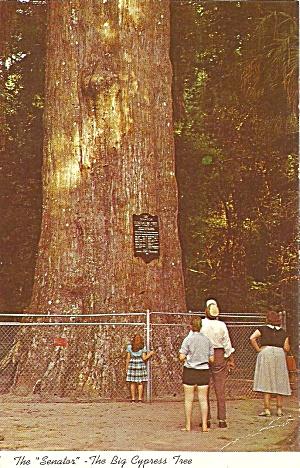 Sanford FL The Senator Cypress Tree p36025 (Image1)