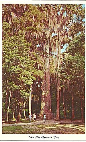 Sanford FL The Senator Cypress Tree p36029 (Image1)