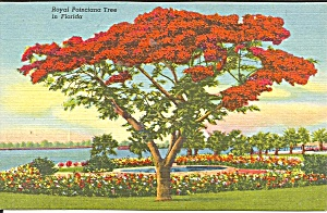 Florida Royal Poinciana Tree Postcard P36033