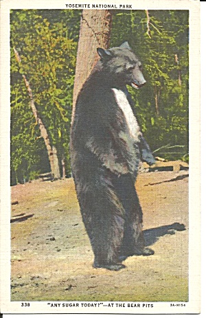 Yosemite National Park Black Bear postcard p36125 (Image1)