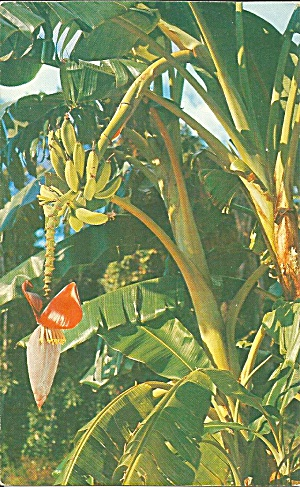 Florida Banana Tree postcard p36128 (Image1)