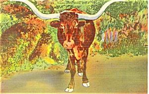 Texas Long Horn Steer Postcard p3620 (Image1)