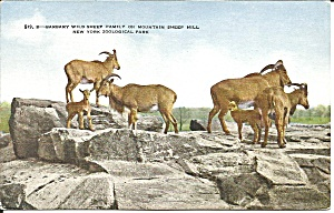 New York Zoological Park Barbary Sheep p36272 (Image1)