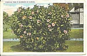 Hibiscus Tree In Florida Postcard P36312 1928