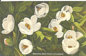 Magnolias State Flower of Louisiana p36426 (Image1)