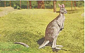 New York Zoological Park Kangaroo postcard p36458 (Image1)