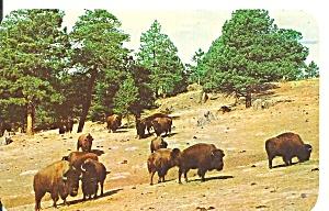 Buffalo American Bison Herd postcard p36459 (Image1)
