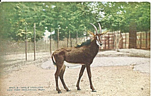 New York Zoological Park Sable Antelope p36483 (Image1)