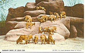 St Louis Mo Zoo Barbary Sheep Postcard P36530