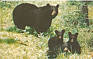Great Smoky Mountains National Park Bear And Cubs P36536