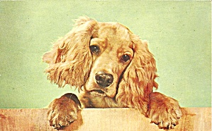 Cocker Spaniel Postcard P36562