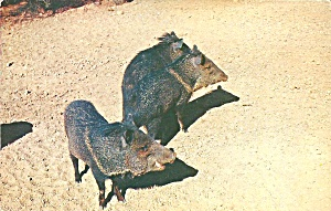 Tucson Az Collered Peccary Or Javelina Postcard P36577