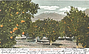 Oranges and Snowfields California Postcard p36597 1906 (Image1)