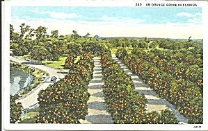 Orange Groves in Florida Postcard p36642 (Image1)