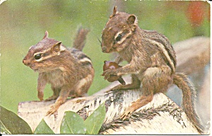A Pair Of Chipmunks Postcard P36647