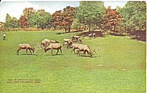 New York Zoological Park  Hart  Elk Herd 36673 (Image1)