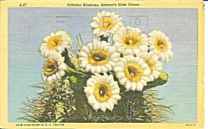Arizona s State Flower Sahauarro Blossoms p36705 (Image1)