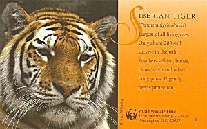 Siberian Tiger Postcard p36807 (Image1)