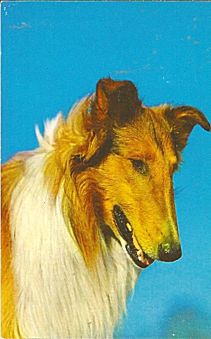 Postcard Of A Collie Dog P36975