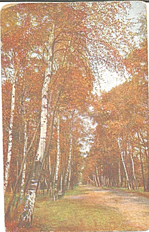 German Postcard Birch Lined Road Scenic P37085