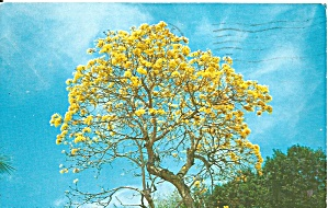 Brazilian Golden Shower Tree P37443
