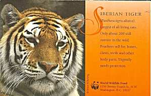 Siberian Tiger Postcard p37486 (Image1)