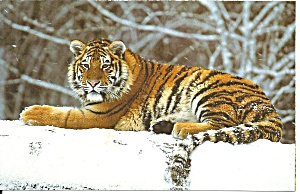Postcard of a Tiger in the Snow p37547 (Image1)