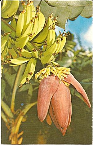 Hawaii A Banana Blossom p37550 (Image1)