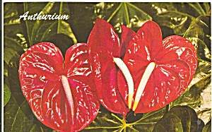 Hawaiian Red Anthurium Postcard P37606